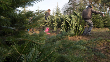 Where and how to cut down your own tree this Christmas