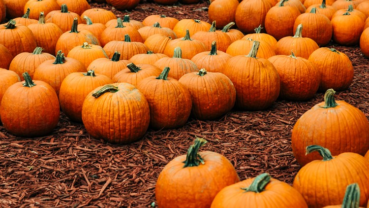 Autumn pumpkins at a pumpkin patch for Halloween decorating fall festival harvest