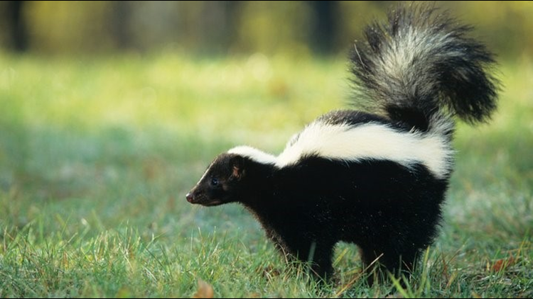 Skunk tests positive for rabies near Meyer Ranch Park
