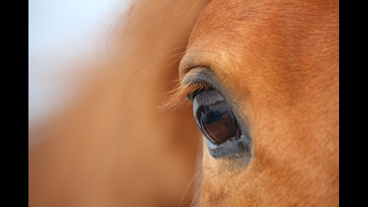 Beautiful chestnut horse eye close up