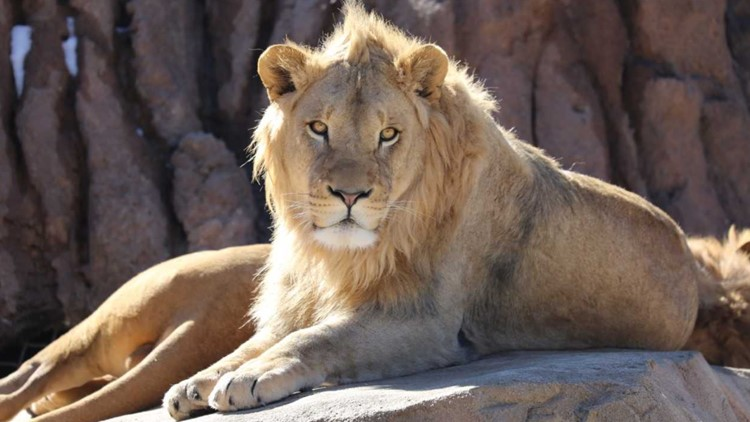 A look at some lions enjoying the warmth of the heated rocks at their enclosure in the Denver Zoo Photo: Denver Zoo