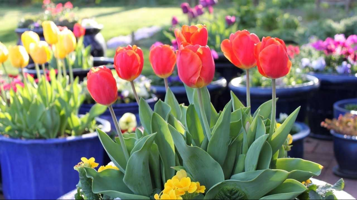 Denver Gas Prices >> Tips to make tulips thrive in your garden this spring ...