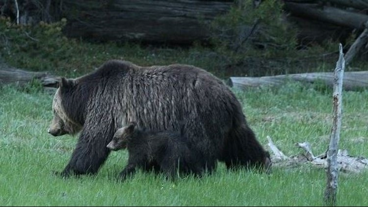 Bear Attacks Girl In Colorado