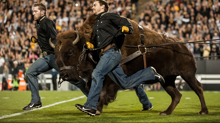 CU Buffs Ralphie mascot colorado football