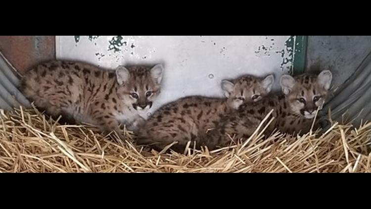 Cheyenne Mountain Zoo mountain lion cubs