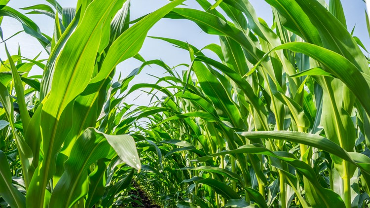 strong, even corn plants on the field, in the phase of the formation of the rock corn farm festival