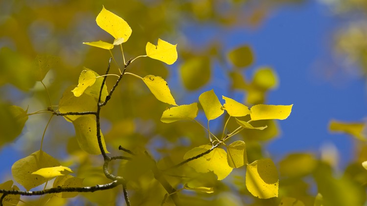 Yellow aspen leaves hang on to it's tree limb during the autumn Buena Vista
