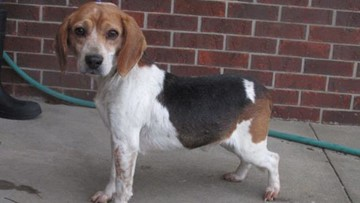 Newest royal dog is not a corgi; he's a beagle rescued in the USA