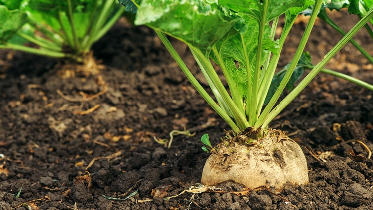 Sugar beet root in ground, cultivated crop in the field mead farming field