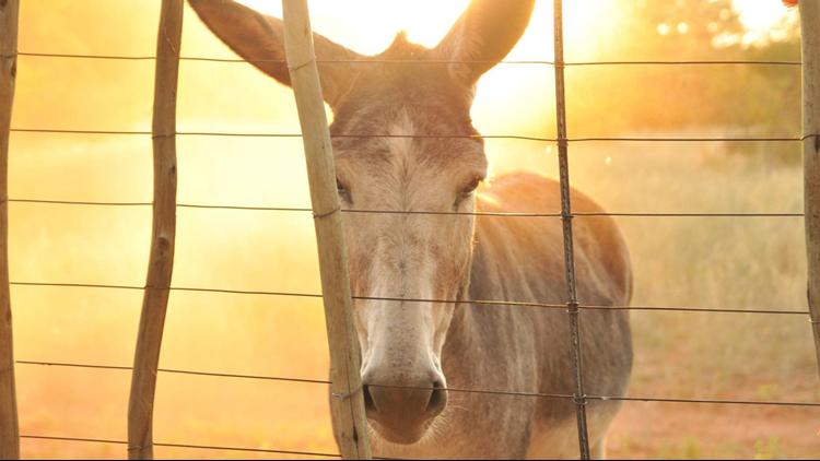 Donkey Derby Days donkey race