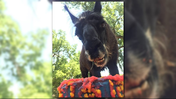 The Denver Zoo celebrated the birthday of Jorge the llama and Hesty the orangutan.