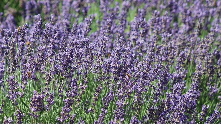 Colorado Annual Lavender Festival 1