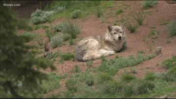 Gray wolf reintroduction bill introduced in state Senate