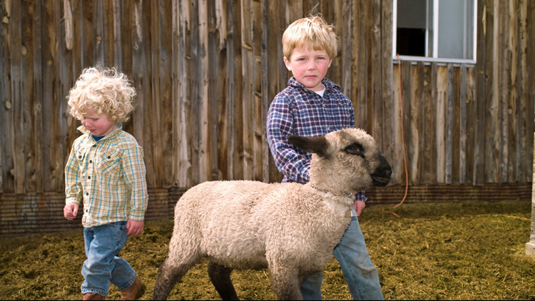 state fair baby lamb sheep
