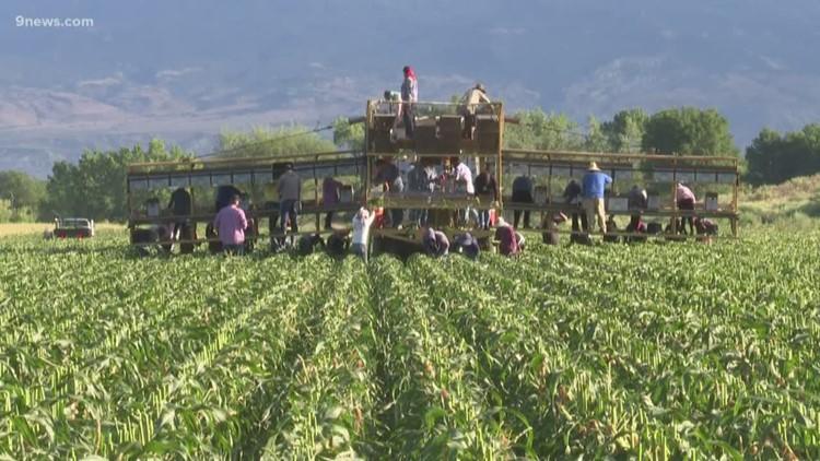 Colorado sweet Olathe corn returns to the region