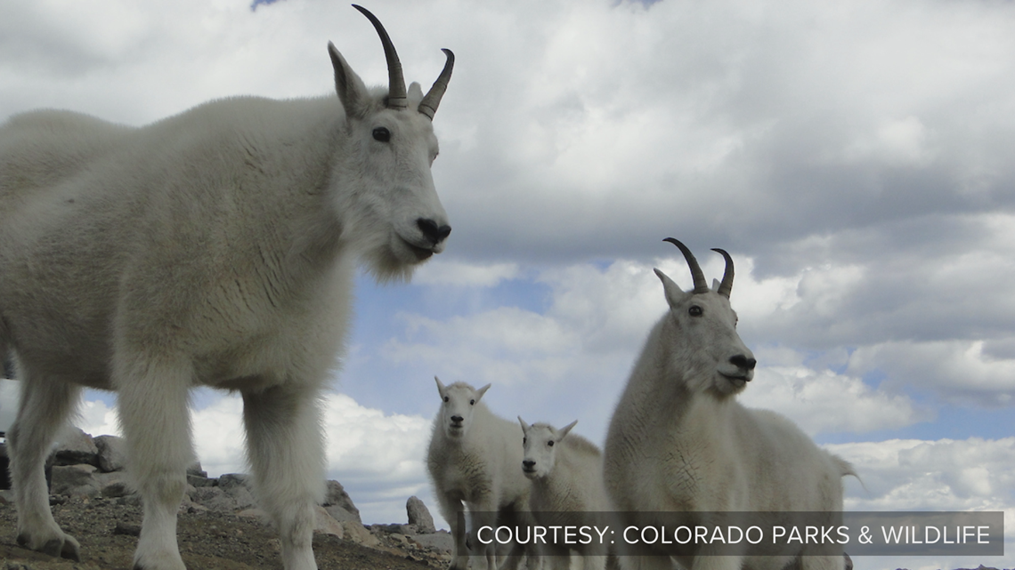 blown learning mountain goats are