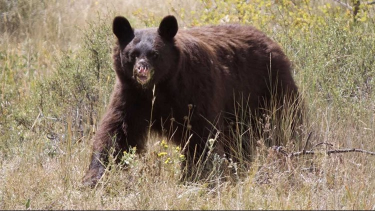 The decision to put the bear down came after multiple reports of her breaking into homes and businesses in the Estes Park area, according to Colorado Parks and Wildlife.