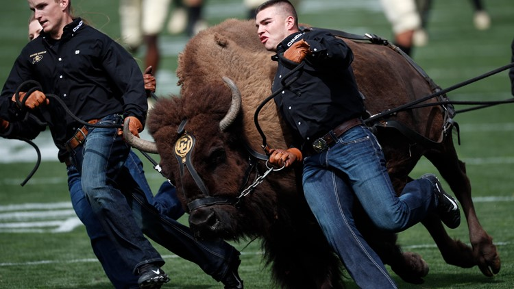 Handlers guide Colorado mascot Ralphie on the animal's ceremonial run before an NCAA college football game against Nebraska Saturday, Sept. 7, 2019