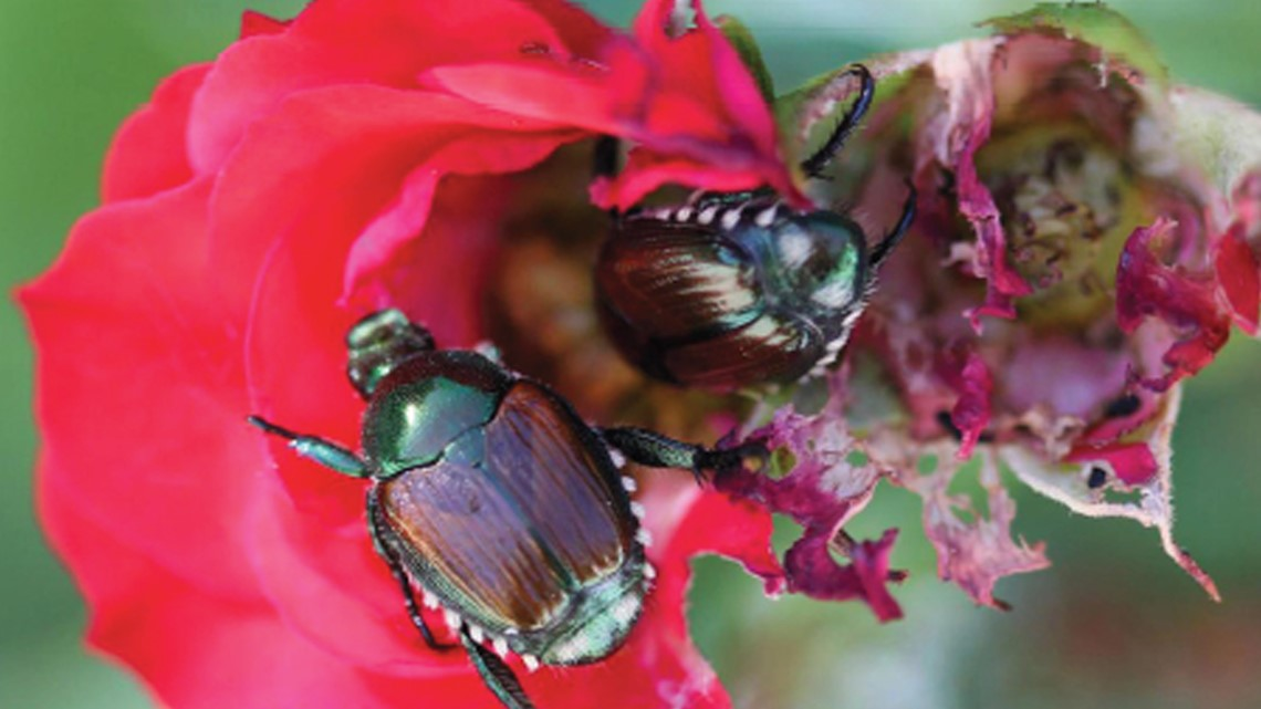 Proctor's Garden: Tips to get rid of those pesky Japanese beetles