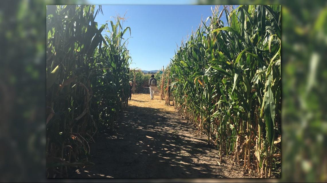 Navigate the twists and turns of denver botanic gardens Chatfield botanic gardens corn maze