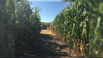 Navigate the twists and turns of Denver Botanic Gardens Chatfield Farms' annual corn maze