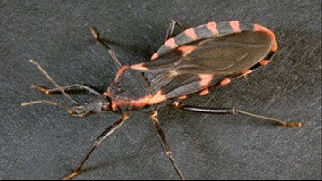 CDC warns blood-sucking 'kissing bug' sighted in Colorado