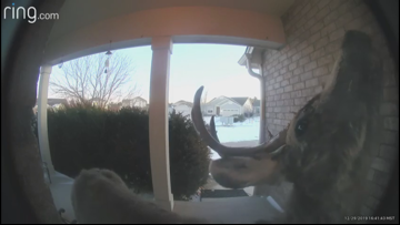 WATCH | Curious deer rings family's doorbell in Parker
