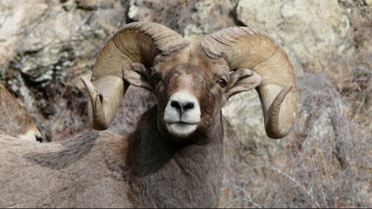 Georgetown Bighorn Sheep Festival