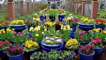 Proctor's Garden: Pot bulbs now for spring patio display