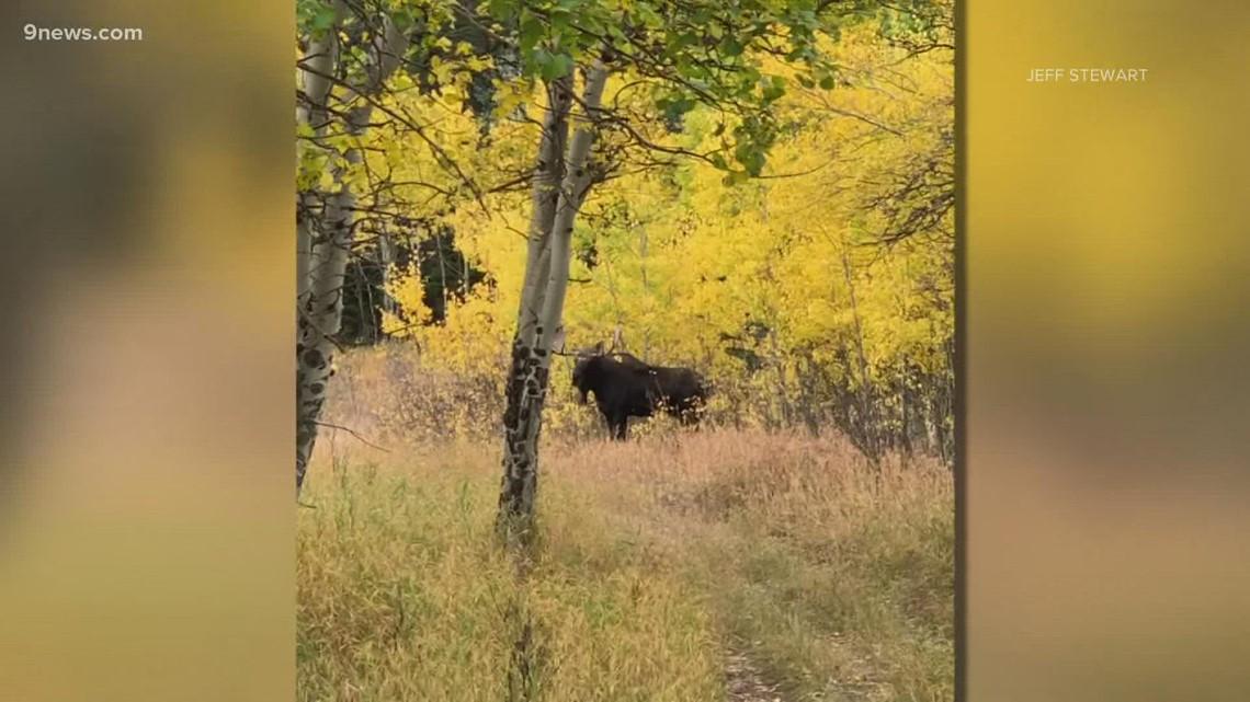 Moose enjoying Colorado's fall colors