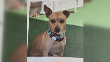 MaxFund Chihuahua stolen before he could appear on 9NEWS