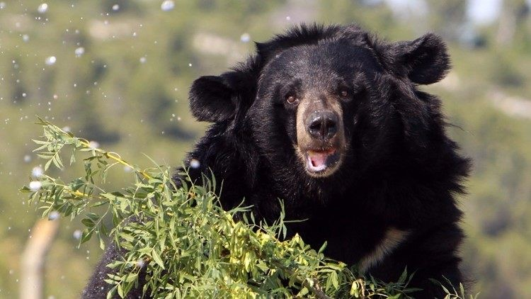 Bear euthanized after biting Aspen restaurant manager who tried to shoo it out of dumpster