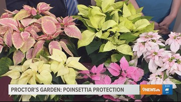 Here's how to extend the life of your poinsettia