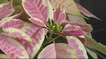 Creating stunning holiday arrangements using poinsettia