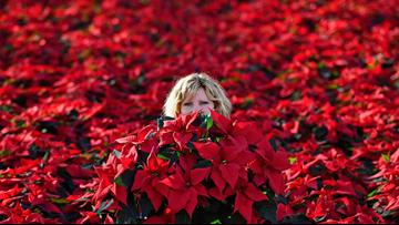 Make your poinsettias pop this holiday season