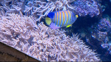Becky's Beasts: Coral reefs are a living animal. Here's why they matter