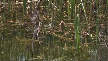 How Colorado wildlife officers are dealing with an invasive bullfrog