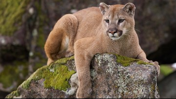 Hunter fights off mountain lion with blunt pocket knife