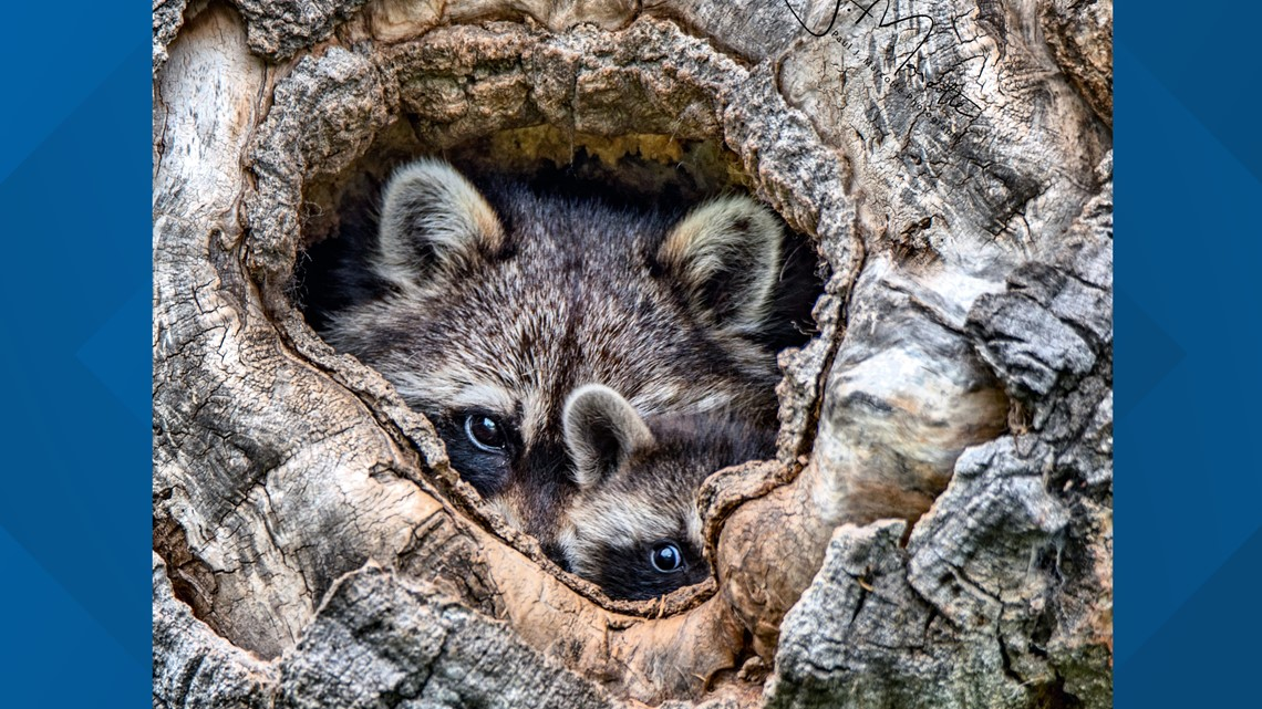 Health department looking for raccoon brought to Co Springs Petco - 9News.com KUSA thumbnail