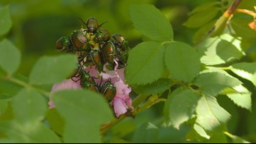 If you don't like Japanese beetles eating your rose bushes, you might want to think twice about having a lawn