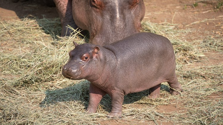 Colorado's new 200-pound baby hippo gets his name
