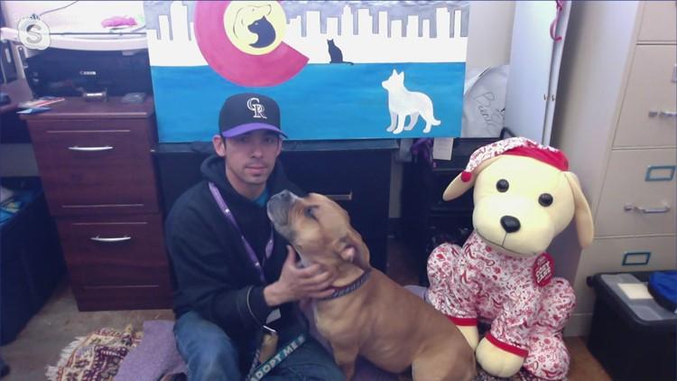 Petline9: Pocket Pitbull mix Dumplin needs a forever home