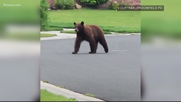 CPW officers search for bear wandering through Broomfield neighborhood