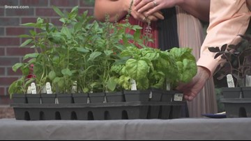 Proctor's Garden: Comparing different types of basil