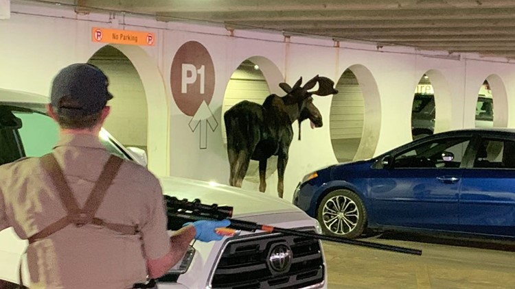 Young moose found in Vail parking garage, relocated back to nature