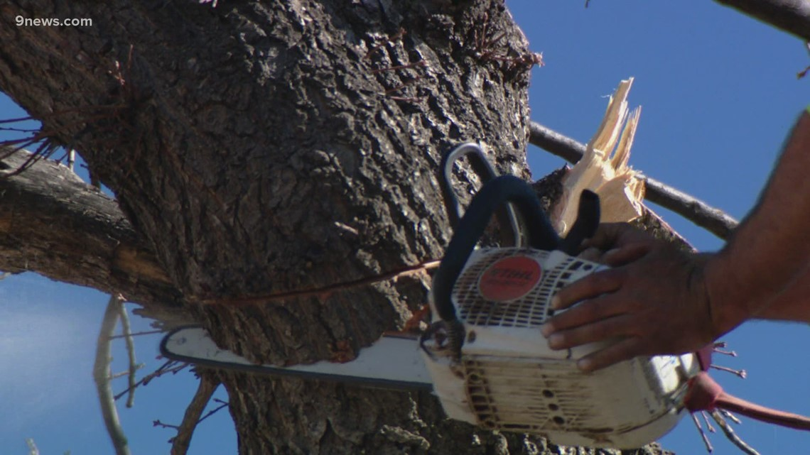 One of the oldest white oak trees in the state cut down