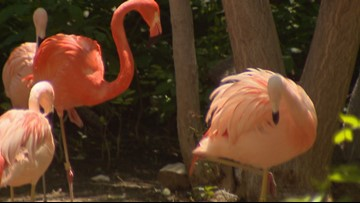 Gay flamingos Freddie Mercury and Lance Bass are Denver Zoo's most iconic love birds