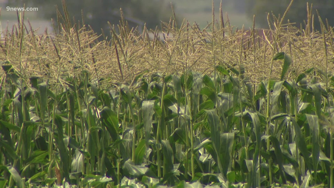 Olathe sweet corn is a Colorado icon that arrives each August