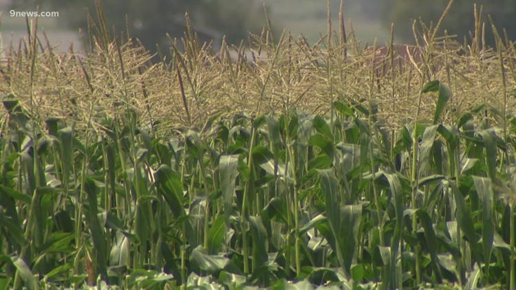 Fritzler Farm Park unveils 2021 corn maze design