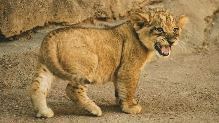 Denver Zoo's new lion cub